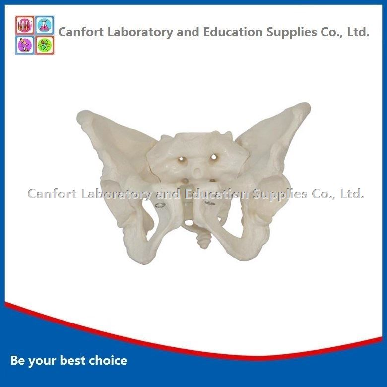 Natural size Female pelvis model