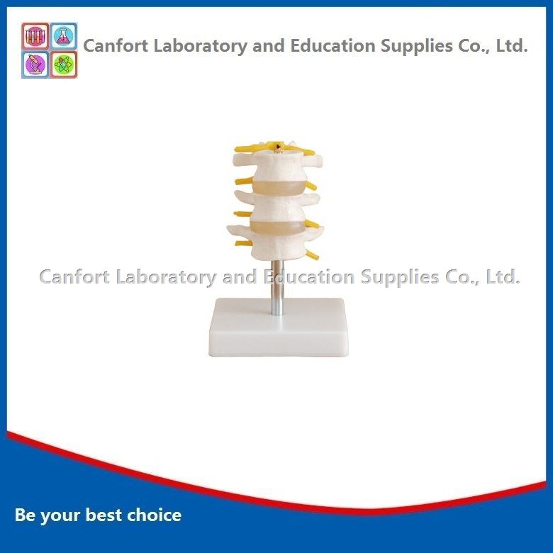 Natural size Vertebra model(3 pcs)