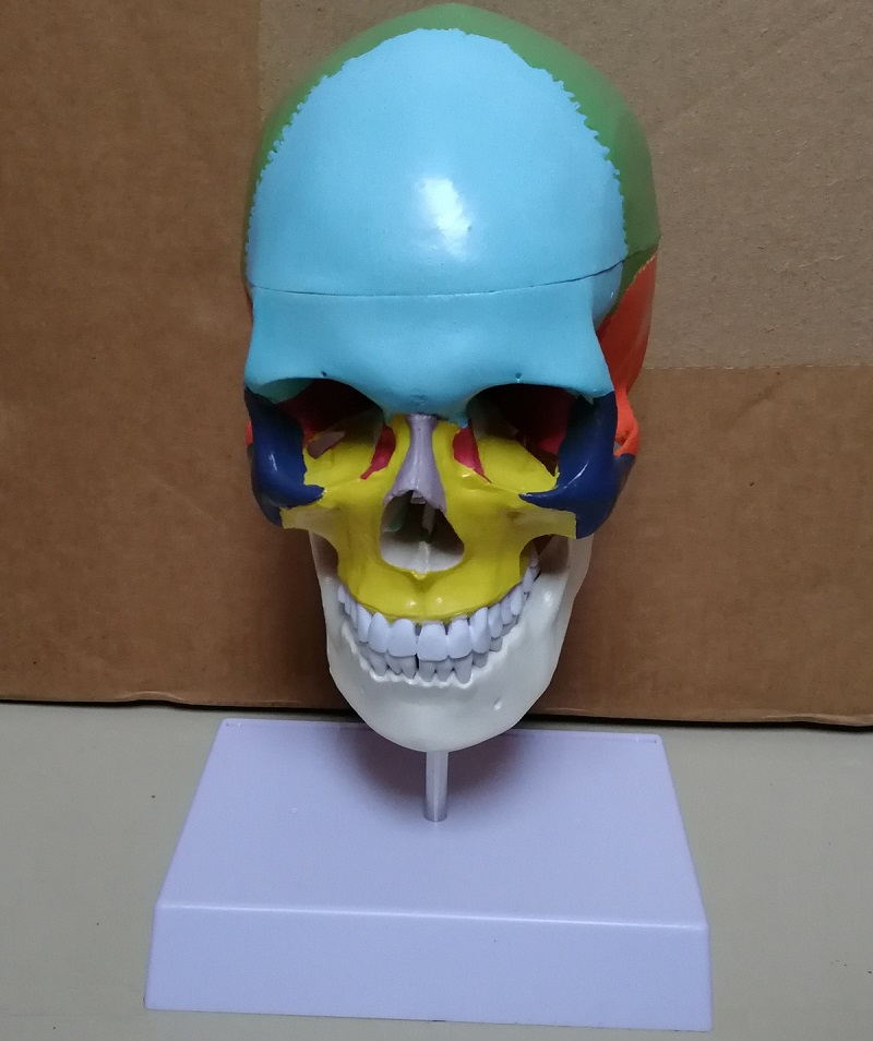 Life-size skull model with stand, colored