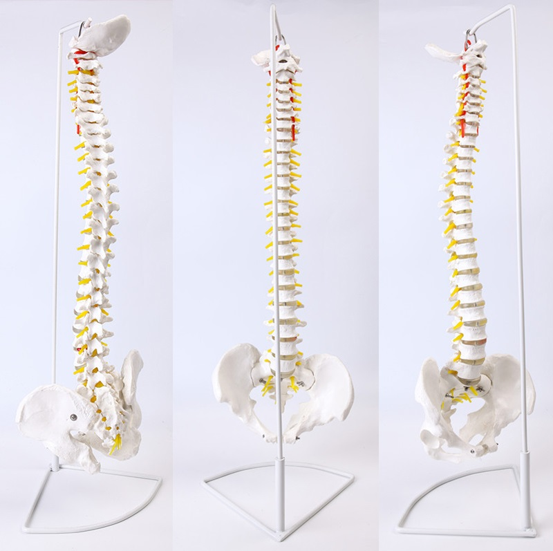Life Size Spine Model With Pelvis