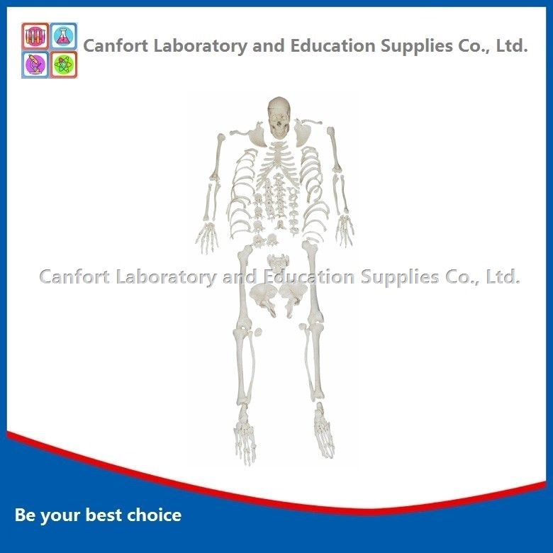 170cm Disarticulated Skeleton Model