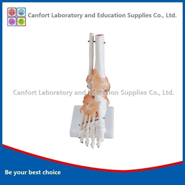Life Size Foot Joints Model with Ligament