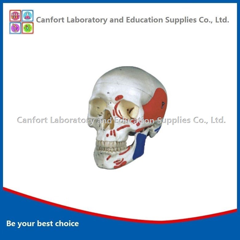 Life Size Human Skull Model With Muscle Coloring