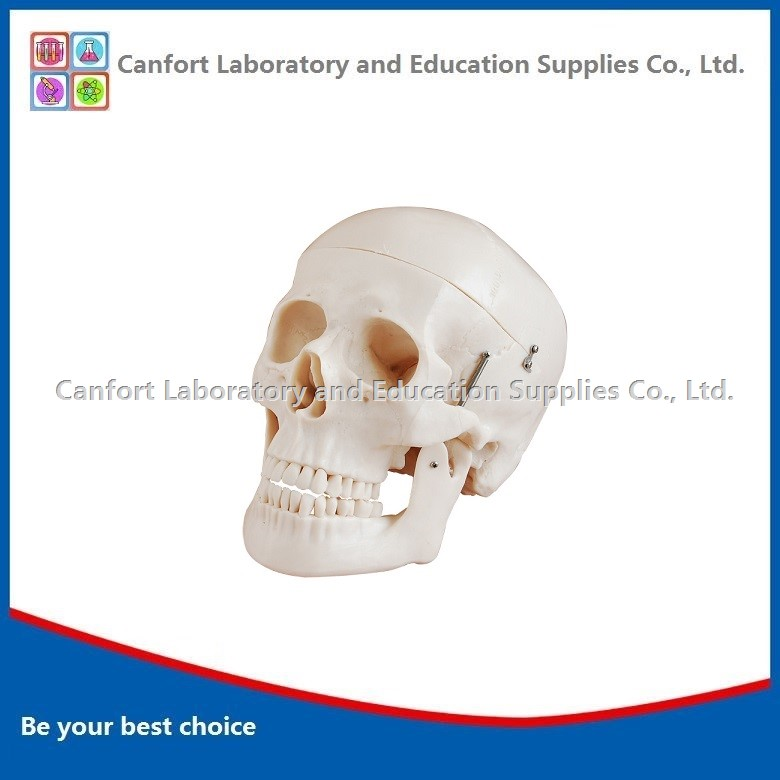 Life Size Human Skull Model with Marks