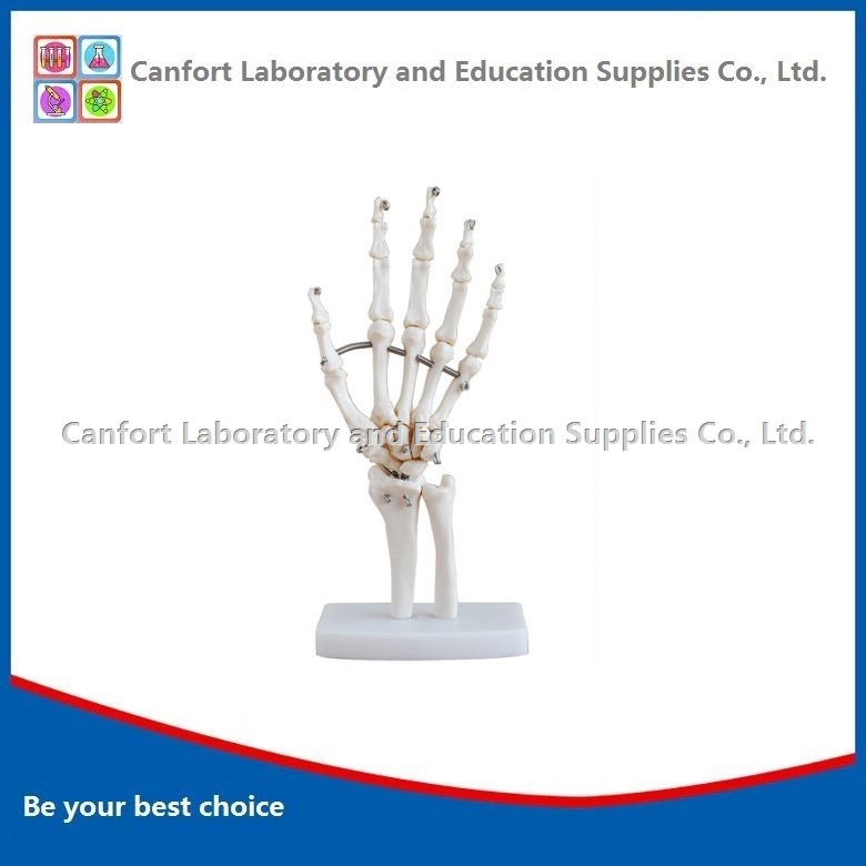 Natural size Hand joint model