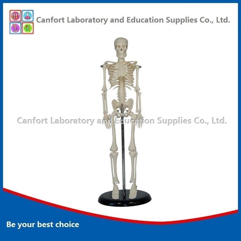 Human skeleton model (42cm)