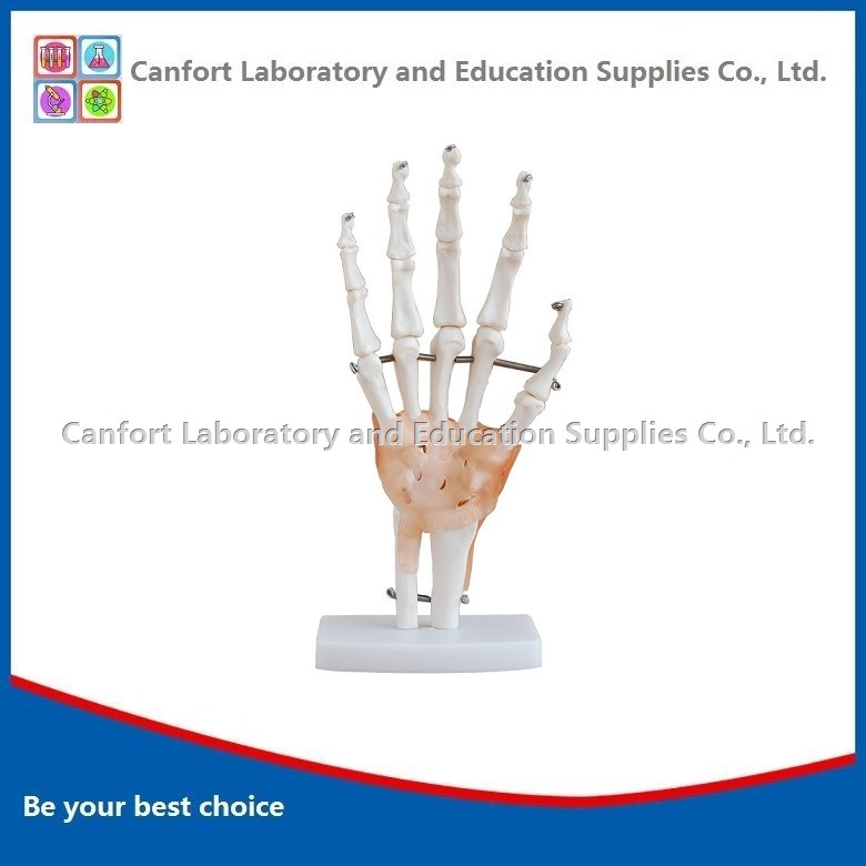 Life size Hand joints model (with ligament)