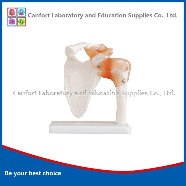 Natural Shoulder joint model