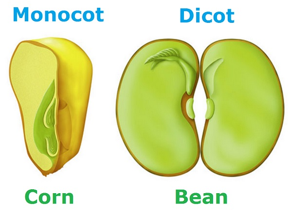 Monocot Vs. Dicot, Difference In Leaf, Stem And Root